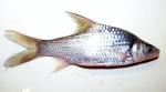 Fish Borneo (2)