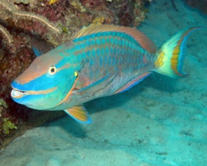 Tobago parrot fish