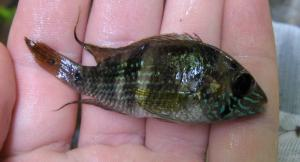 Aequidens coeruleopunctatus, a common B. episcopi predator found in Panamanian streams and rivers © G.Archard (2010)