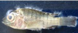 sapro fish