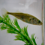 stickleback cripes