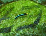 Sharknose goby (Elacatinus evelynae) at a cleaning station on Booby Reef, Man-O-War Bay, Tobago.